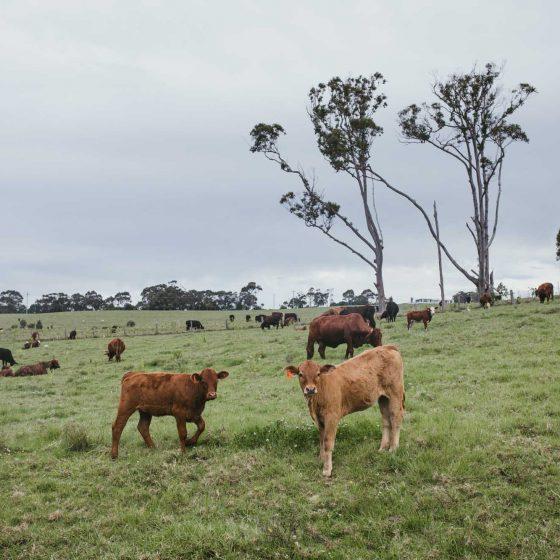 hayters hill grass fed beef byron bay0001