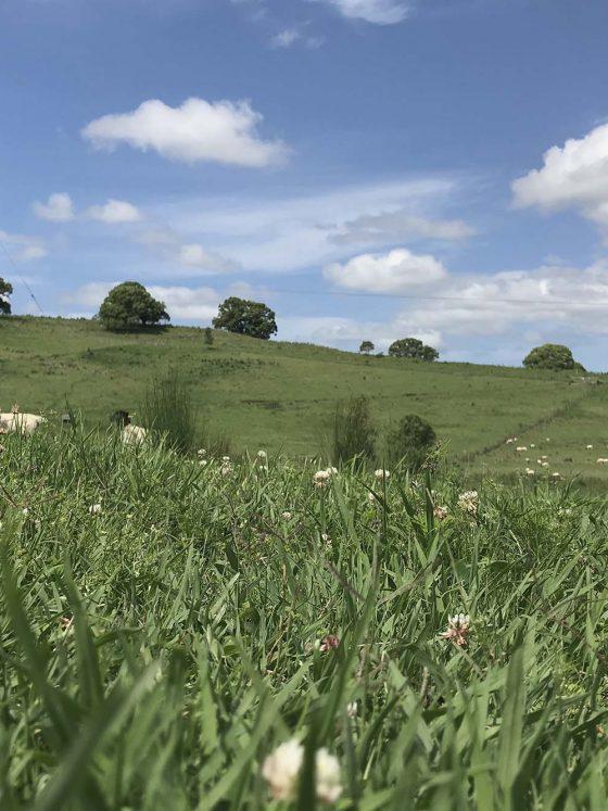 boorabee dorper lamb