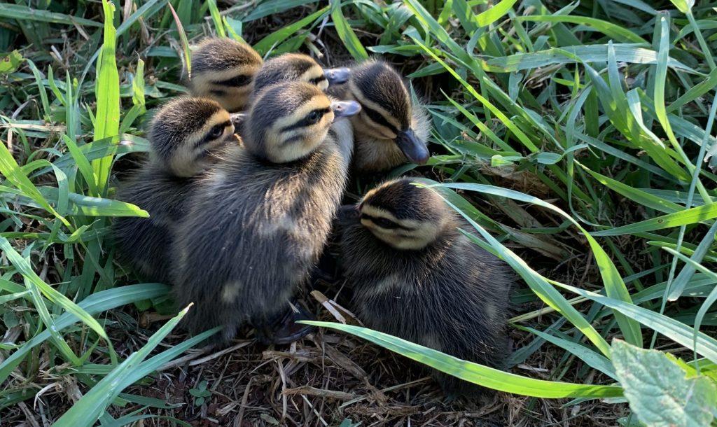 Ducklings at Three Paddocks Farm