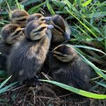 Ducklings at Three Paddocks Farm